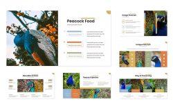 保护孔雀野生鸟类动物PPT演讲模板