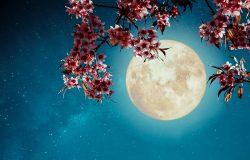 浪漫的夜景-美丽的樱花(樱花)在夜空与满月。-复古风格的艺术品,带有复古色彩的色调。