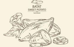 红薯:根花和红薯片。矢量手绘插图
