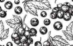 黑醋栗无缝图案。矢量绘图单株浆果枝素描。夏季水果雕刻的背景。详细的手绘素食。适合包装设计茶叶或果汁标签