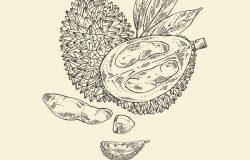 榴莲:水果和叶子。矢量手绘插图。