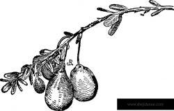 这是卵球形蔓越莓的图像。这个水果是甜的和果汁的,这是一个很棒的颜色的水果。这是一个圆形水果复古线条绘制或雕刻插图。
