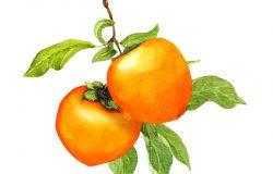 柿树果叶枝条水彩植物图解