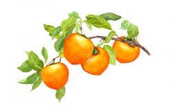 水彩柿子枝,果实和叶子。手绘插图