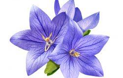 白色背景上分离出来的娇嫩明亮的蓝铃花