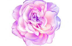 白色背景上的粉红色紫玫瑰花