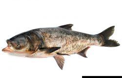 白背景大口鲤鱼