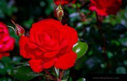 美丽的玫瑰盛开在华盛顿公园,国际玫瑰试验花园,波特兰,俄勒冈州。