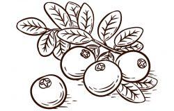 手工绘制蔓越莓枝分离在白色背景向量插图。