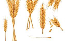 一束小麦穗干全麦现实向量图集,孤立在白色背景上。谷物收获农业有机农业健康食品象征。