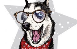 近距离拍摄西伯利亚哈士奇犬的矢量肖像,戴着冬季的手帕和眼镜。